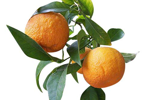 ★ ★ Winterharter Orangenbaum ★ ★ 5 Samen ''poncirus trifoliata'' -Bitterorange- ★★ -25°C ★★