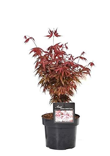 Ahorn palmatum Skeeters broom - roter asiatischer Fächerahorn - verschiedene Größen (60-80cm - Topf Ø 19cm)
