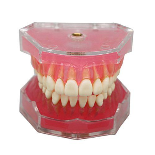 Dentalmall 1 Pc Dental Demonstration teeth Model - Standard Study Teaching dental mode with all Removable Teeth #4004 01