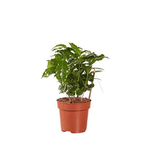 Hellogreen Zimmerpflanze - Kaffeepflanze Coffea Arabica - 25 cm - Luftreinigend - Tierfreundlich (nicht giftig)