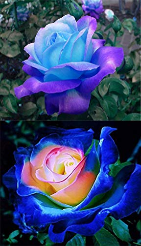 Rare Blue Pink Roses Plant Seeds Balcony Garden Potted Rose Flowers Yard Decor