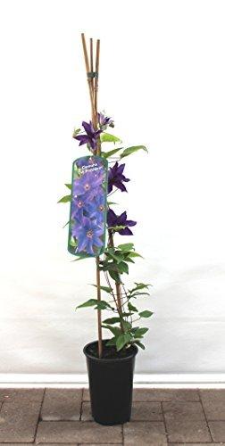 Clematis Kletterpflanzen 40-100cm topfgewachsen, verschiedene Sorten/Farben (40-60cm, Blau)