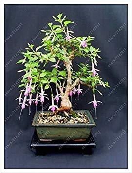 VISTARIC 4: Double Dahlia Seed Mini Mary Fleurs Graines Bonsai Plante en pot bricolage jardin odorant fleur, croissance naturelle de haute qualité 50 Pcs 4