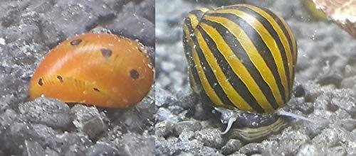 Topbilliger Tiere Schneckenmix 5X Orange Track Rennschnecke - Neritina turrita 5X Anthrazit - Napfschnecke Stahlhelmschnecke