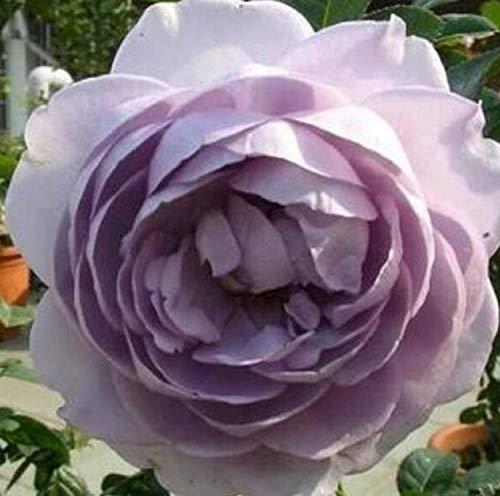 SANHOC Graines Paquet: BeautifulRibbon Graines Rose 80 graines ACHETER 4 ARTICLES