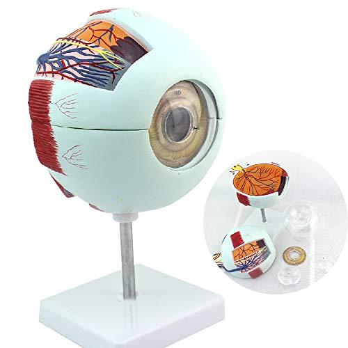 CNRGHS Eyeball Anatomy, Menschliches Auge Model, Eyeball Modell Augen-Anatomie, Sinnes Ophthalmologie, HNO-Modell, Großes Eyeball Strukturmodell Für Medizinische Lehre Demonstration