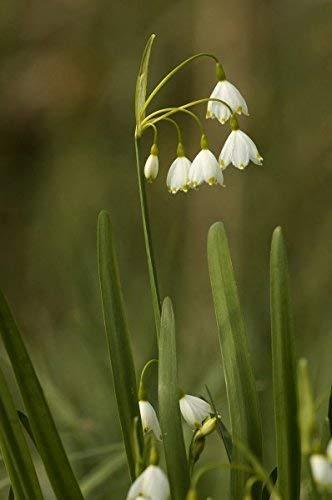 Märzenbecher Knotenblume - 20 Samen