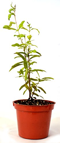 9GreenBox - Dwarf Pomegranate Mame Bonsai - 3 Pot