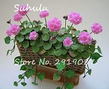 Vistaric 100pcs Rare Mini Geranium Graines Vivaces Belles Fleurs Graines Pelargonium Peltatum Graines disponibles bonsaï mélange en pot couleurs 11