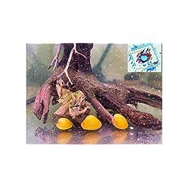 Goldene Körbchenmuschel - Corbicula javanicus 10 Stk Topbilliger Tiere