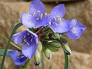新しい! 30+ムラサキツユクサ属Spiderwort花の種ミックス/多年生