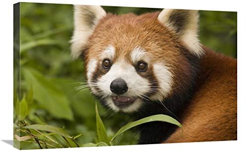 Global Gallery Lesser Panda Retrato, Wolong Nature Reserve, China - Lienzo Decorativo...