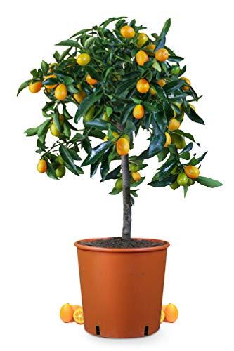 Meine Orangerie Kumquat Mezzo - echte Zitruspflanze - Fortunella Margarita - 70 bis 90 cm - Ovale Kumquat - Kumquat Tree - veredelte Zwergorange in Gärtner-Qualität