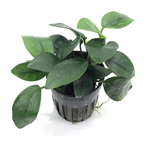 SubstrateSource Anubias barteri Nana Live Aquatic Aquarium Plant (1 Pot)
