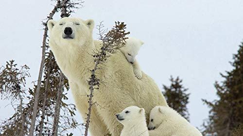Madre Oso Polar Y 3 Ositos Polares Adultos 1000 Pieza Puzzles Classic Niños Rompecabezas Madera Paisaje Casual Natural Divertidos Juegos Decoración Arte Rompecabezas 75x50cm
