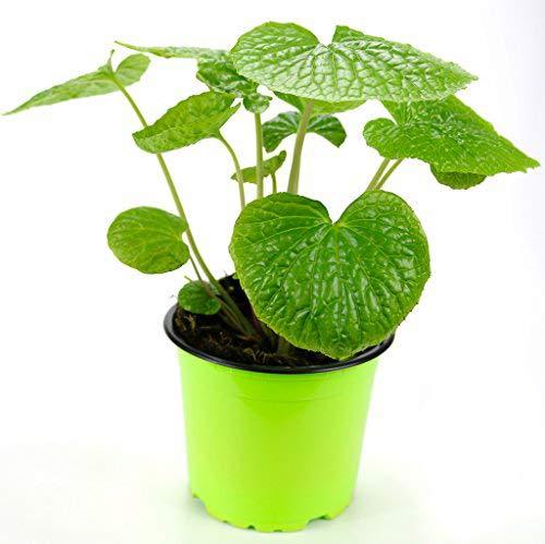 Echte Wasabi Pflanze, Echter Wasabi Winterhart, Japanischer Meerrettich