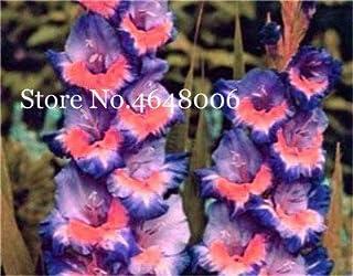 Pinkdose Jardín Bonsai Flor de gladiolo, no bulbos de gladiolo, planta de maceta perenne multicolor Sementes de flores 95% germinación 200 pcs: h