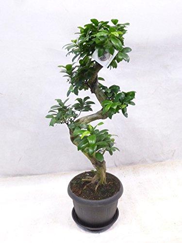[Palmenlager] - Ficus microcarpa GINSENG 60/70 cm - // Zimmerpflanze BONSAI