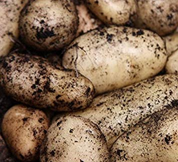 SANHOC Samen-Paket: Handel Seed atoes Herzog von York x 10 TubersSEED