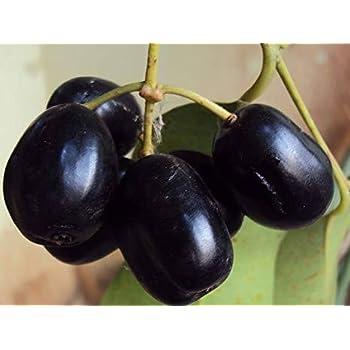 MaliaGarden LIVE Black Jamun Fruit Plant - KALO JAM Dwarf ...