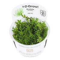 【Tropica・水草】グラティオラ・ヴィスキデューラ(1・2・Grow!) ※無農薬 ※スネール無し (3カップ)