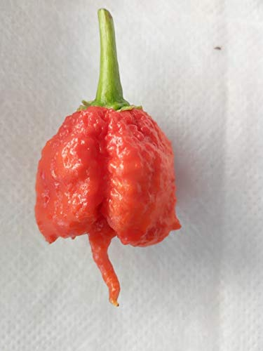 GRAINES DE PIMENT-SUPER HOT!!!!!!!!!!!!!!! 60 GRAINES CAROLINA REAPER HP22B-CAROLINA YELLOW-BHUT JOLOKIA RED-BHUT JOLOKIA SALMON-TRINIDAD SUNRISE-TRINIDAD SCORPION MORUGA YELLOW