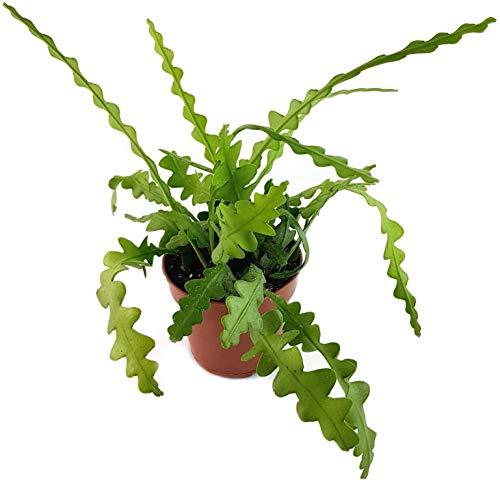 Fangblatt - Epiphyllum anguliger - bizzarer Blattkaktus - die Kaktee ist eine sehr schöne, pflegeleichte Zimmerpflanze für das sonnige Fensterbrett - blühfreudige Sukkulente