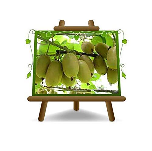 Actinidia - Kiwi Variété Jaune Plante Fruitière Jinfeng sur 20 arbres max 170 cm - 2 ans