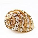 STPUS Caracol natural para piano caracol ondulado, a rayas, ermitaño de repuesto, cáscara náutica para decoración del hogar (color: libre, tamaño: 9 11 cm)