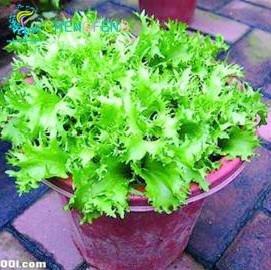 100pcs chinoise semences de légumes Cichorium endivia Plantes de renforcer l'immunité Endive humaines Graines Légumes 2016 Hot Sale frais Bonsai