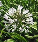 weiße Liebesblume Schmucklilie - Agapanthus africanus