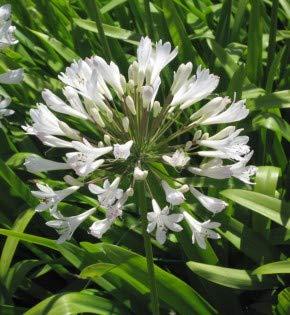 weiße Liebesblume Schmucklilie - großer Topf - Agapanthus africanus