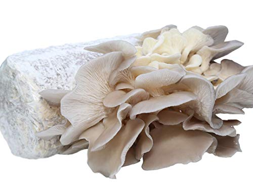 Oyster Mushroom Growing Kit Log Organic Non-GMO 3 lbs Log by Dave Mushroom Farm - Grow Your own Delicious Organic Oyster Mushrooms at Home. Edible and Gourmet Mushroom. Gift