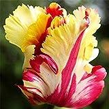 4pcs mischte Farben-schöne seltene Papageien-Tulpe-Birnen-Hausgarten-Dekor-Blume