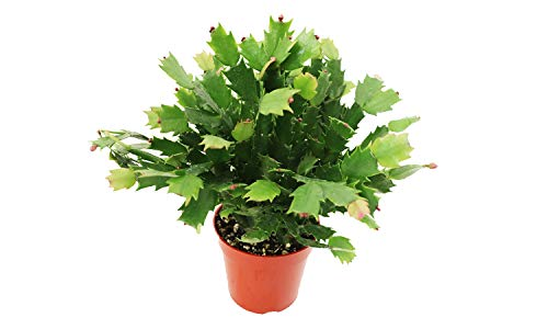 Zygocactus Christmas Cactus Red - 4'' from California Tropicals