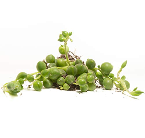 """Round String Pearls (4 Count) 1.5"""" inch Pack - Decorate Your Home/Garden with a Healthy Round String Pearl Succulent Plant by Jiimz"""