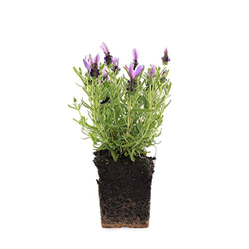 Plants by Post Quart Bandera Spanish Lavender, Purple
