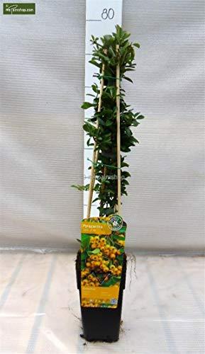 Feuerdorn - Pyracantha 'Soleil d'Or' - Gesamthöhe 60-80 cm - 1,5 Liter Topf