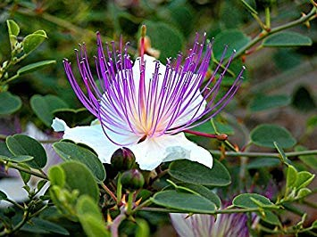 Shopvise 80 Caper Seeds - Capparis Spinosa - Flinders Rose - Herb- (80 graines) organiques