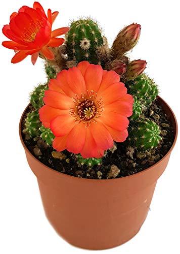 Fangblatt - Chamaelobivia Hybride - Kaktus mit wundervollen Blüten - pflegeleichte Sukkulente - besondere Zimmerpflanze (Rot)