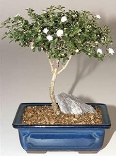 Bonsai Boy's Snow Rose Serissa Bonsai Tree - Medium serissa foetida