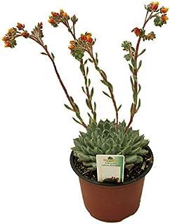 Echeveria Setosa Diminuta Cactus Suculenta Crasa en Maceta 13cm Planta Natural
