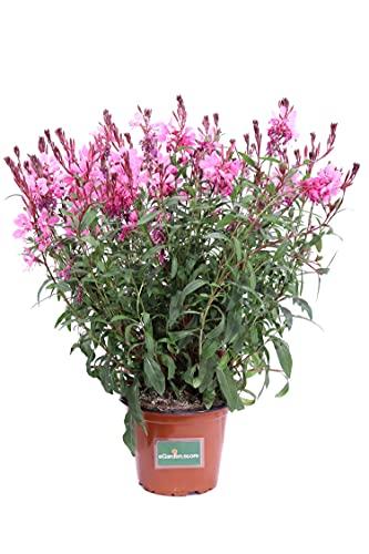 Pianta di Fior di Orchidea Rosa pianta di Gaura Lindheimeri Rosa pianta da esterno pianta da giardino pianta da fiore pianta Di Gaura ornamentale pianta vera venduta da eGarden.store