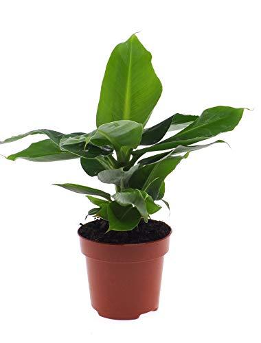 Zimmerpflanze von Botanicly – Bananenpflanze – Höhe: 30 cm – Musa Tropicana