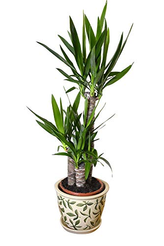 Planta de interior - Planta para la casa o la oficina - Yucca elephantipes - Yuca sin espinas - 1 metro