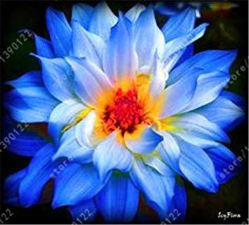 Vista Echte Dahlienzwiebeln, Dahlienblume, Bonsai-Blumenzwiebeln (nicht Dahliensamen), mehrjährige Pflanze Topfwurzel für Garten 2 Stück 21