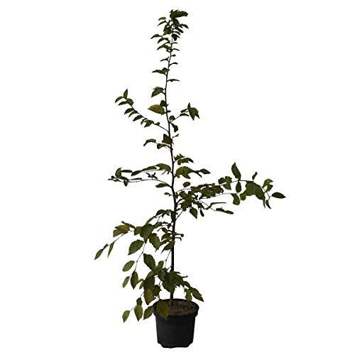 Müllers Grüner Garten Shop Hainbuche Carpinus betulus Hagebuche heimischer Laubbaum Heister mit 60-100 cm 3 Liter Topf