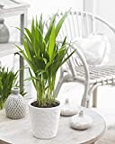 Areca Palm Tree 'Dypsis Lutescens' Houseplant Seeds - Tropical Indoor House Plant - 15 Fresh Rare Seeds Easy to Grow