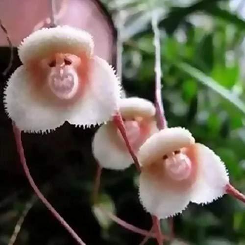 GETSO 20 PCS Seltene Orchideen-Pflanzen japanische AFFE-Gesichts-Orchideen-Blume Mix Seltene Bonsai Blume Pflanze Exotische Tropical Bonsai Pflanze LC: Style 9