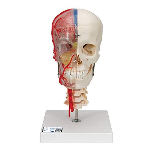 3B Scientific A283 Modelo de anatomía humana Bonelike Cráneo – Cráneo Didáctico de Lujo, 7 Partes + software de anatomía gratuito - 3B Smart Anatomy